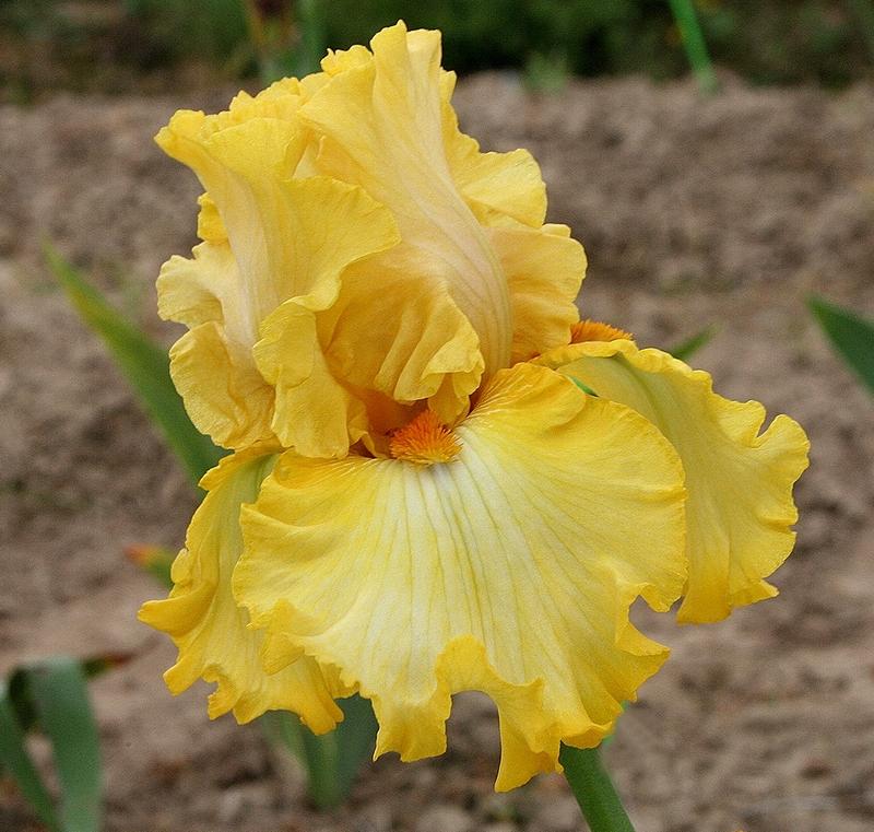 iris tchèques