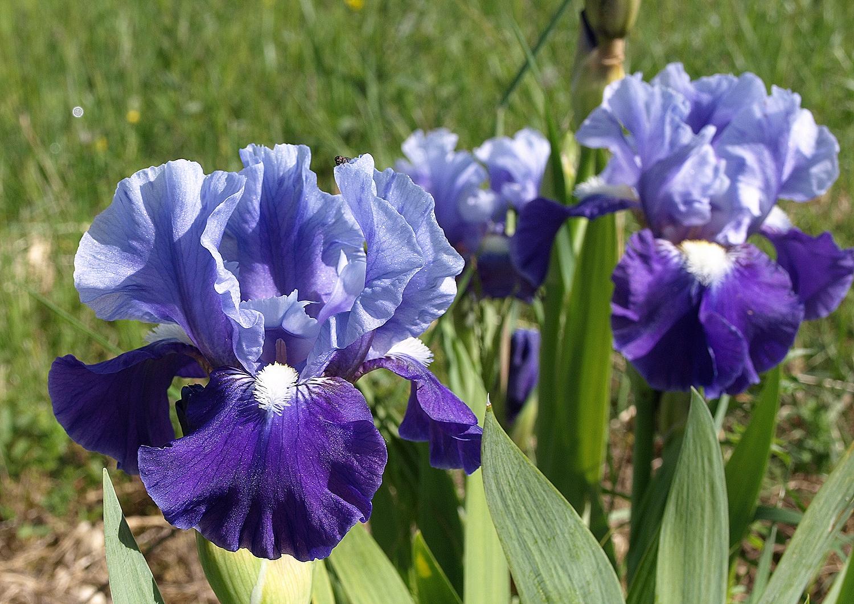 iris néerlandais