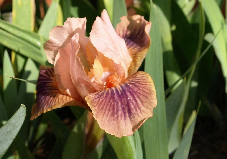 iris américains