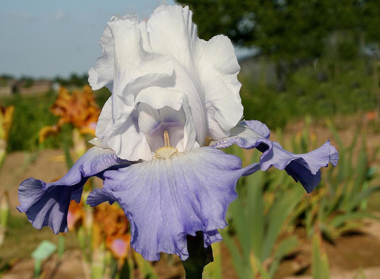 iris britanniques