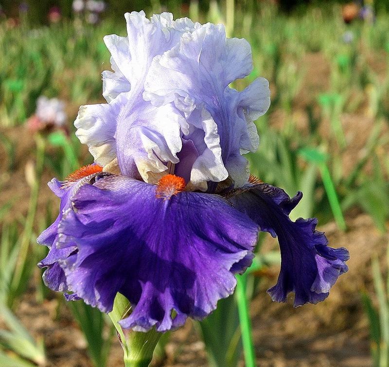 iris slovaques