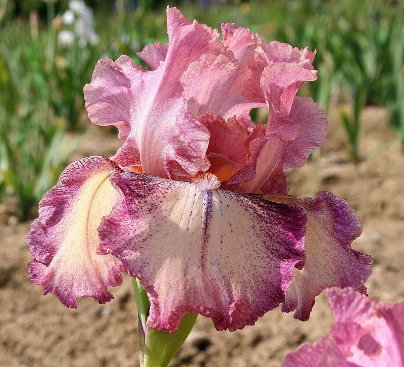 rancho rose