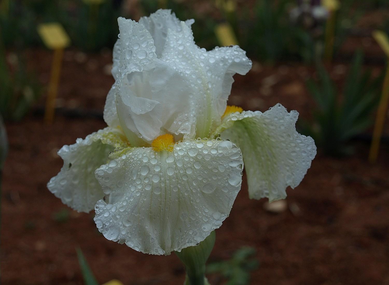 white palomino