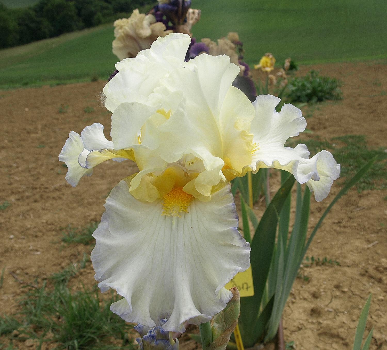 iris polonais