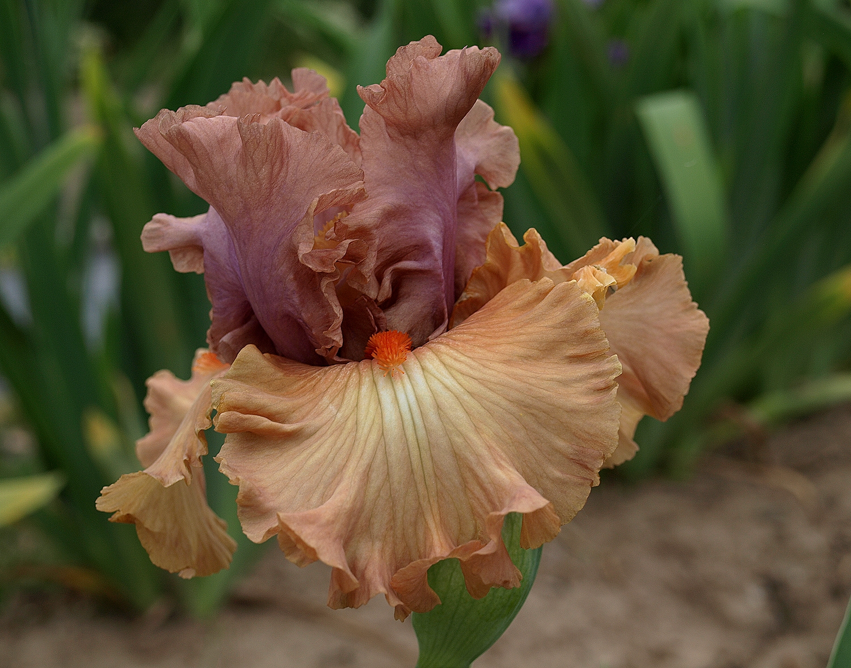 iris français